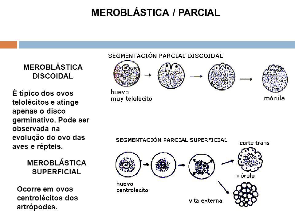 MEROBLÁSTICA DISCOIDAL É típico dos ovos telolécitos e atinge apenas o disco germinativo. Pode ser observada na evolução do ovo das aves e répteis. ME