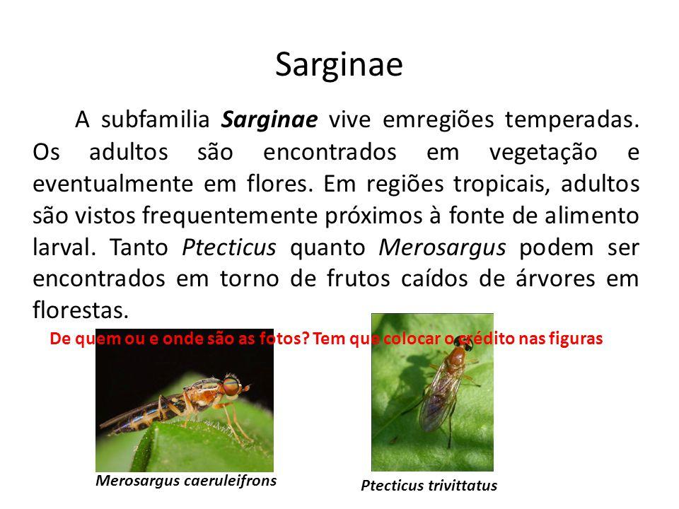 Sarginae A subfamilia Sarginae vive emregiões temperadas. Os adultos são encontrados em vegetação e eventualmente em flores. Em regiões tropicais, adu