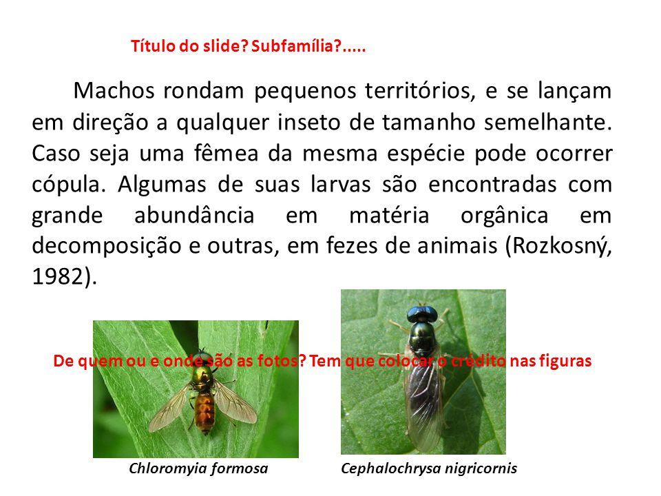 Machos rondam pequenos territórios, e se lançam em direção a qualquer inseto de tamanho semelhante. Caso seja uma fêmea da mesma espécie pode ocorrer
