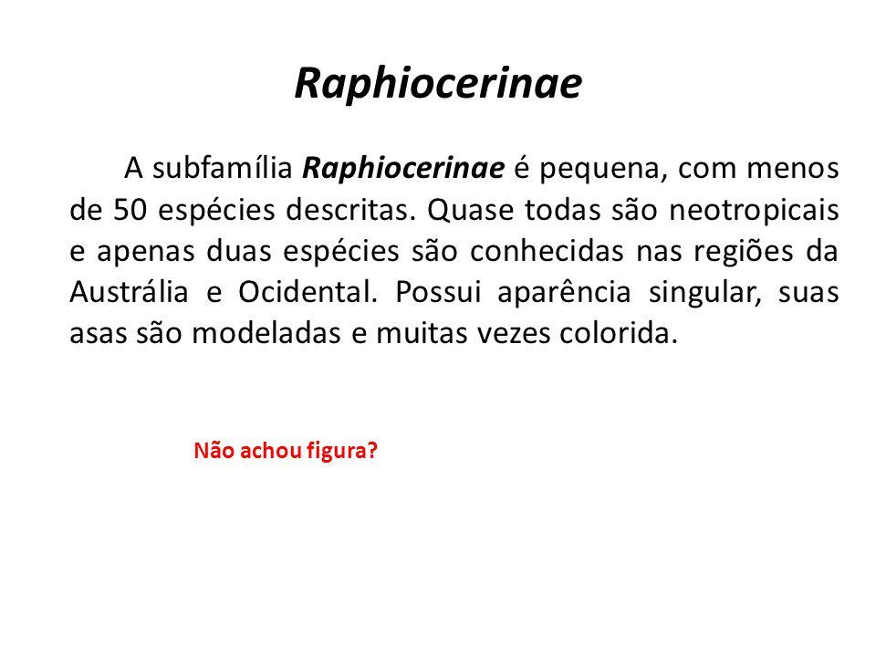 Raphiocerinae A subfamília Raphiocerinae é pequena, com menos de 50 espécies descritas. Quase todas são neotropicais e apenas duas espécies são conhec