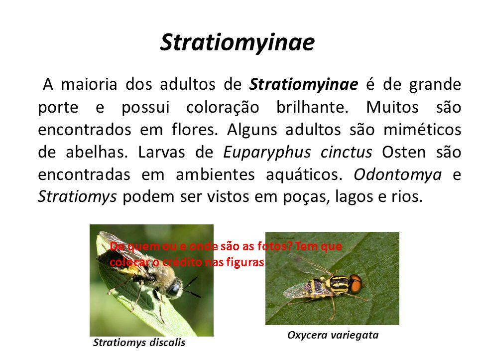 Stratiomyinae A maioria dos adultos de Stratiomyinae é de grande porte e possui coloração brilhante. Muitos são encontrados em flores. Alguns adultos