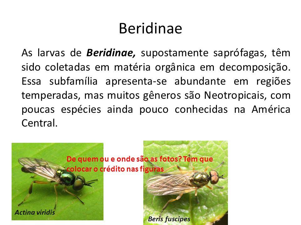 Beridinae As larvas de Beridinae, supostamente saprófagas, têm sido coletadas em matéria orgânica em decomposição. Essa subfamília apresenta-se abunda