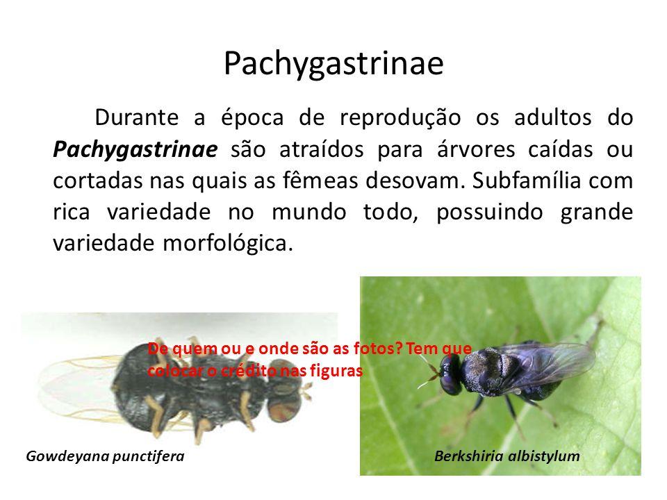 Pachygastrinae Durante a época de reprodução os adultos do Pachygastrinae são atraídos para árvores caídas ou cortadas nas quais as fêmeas desovam. Su