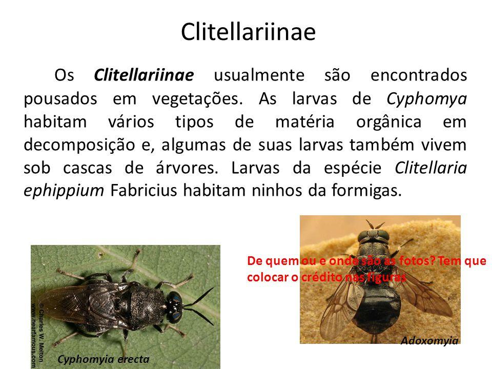 Clitellariinae Os Clitellariinae usualmente são encontrados pousados em vegetações. As larvas de Cyphomya habitam vários tipos de matéria orgânica em