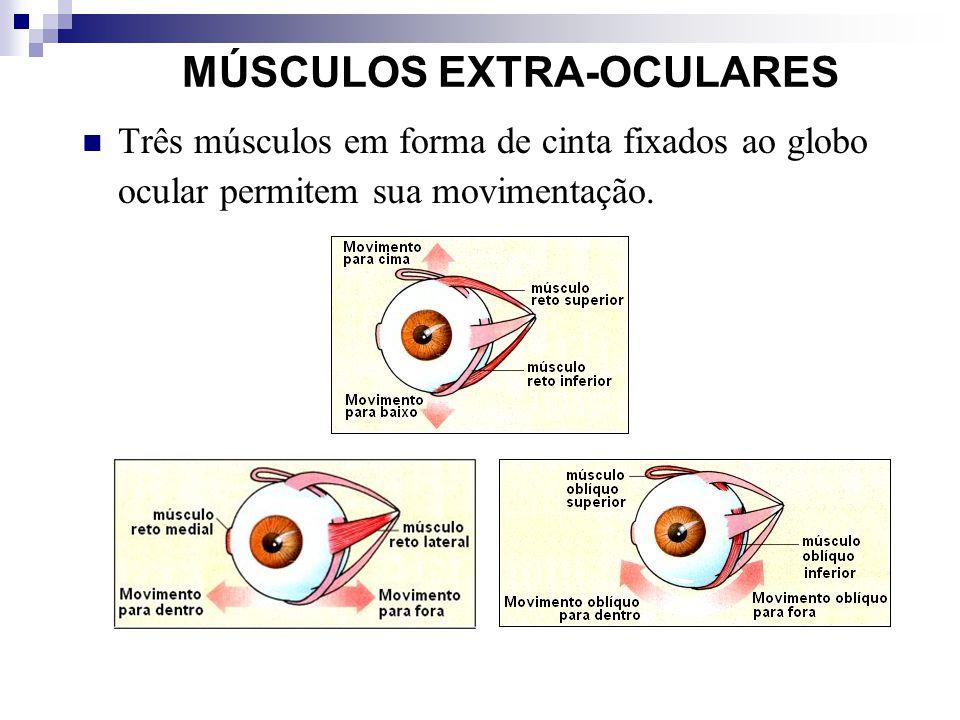 MÚSCULOS EXTRA-OCULARES Três músculos em forma de cinta fixados ao globo ocular permitem sua movimentação.
