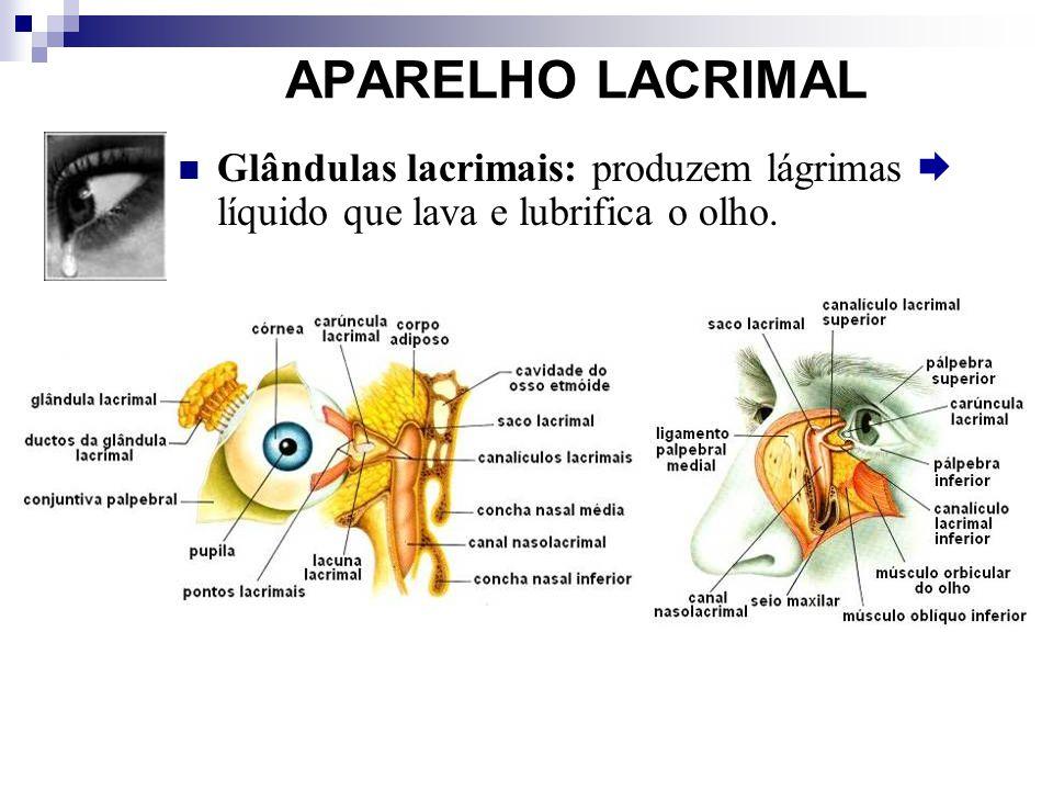 APARELHO LACRIMAL Glândulas lacrimais: produzem lágrimas líquido que lava e lubrifica o olho.