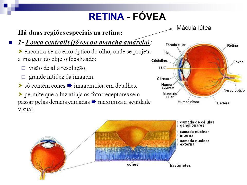 RETINA - FÓVEA Há duas regiões especiais na retina: 1- Fovea centralis (fóvea ou mancha amarela): encontra-se no eixo óptico do olho, onde se projeta