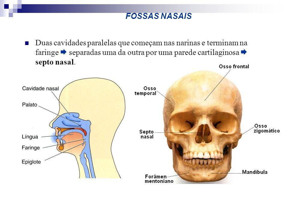 FOSSAS NASAIS Duas cavidades paralelas que começam nas narinas e terminam na faringe separadas uma da outra por uma parede cartilaginosa septo nasal.