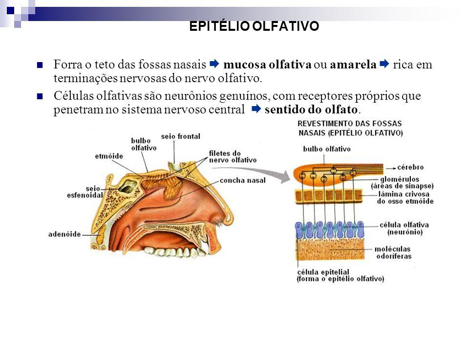 EPITÉLIO OLFATIVO Forra o teto das fossas nasais mucosa olfativa ou amarela rica em terminações nervosas do nervo olfativo. Células olfativas são neur