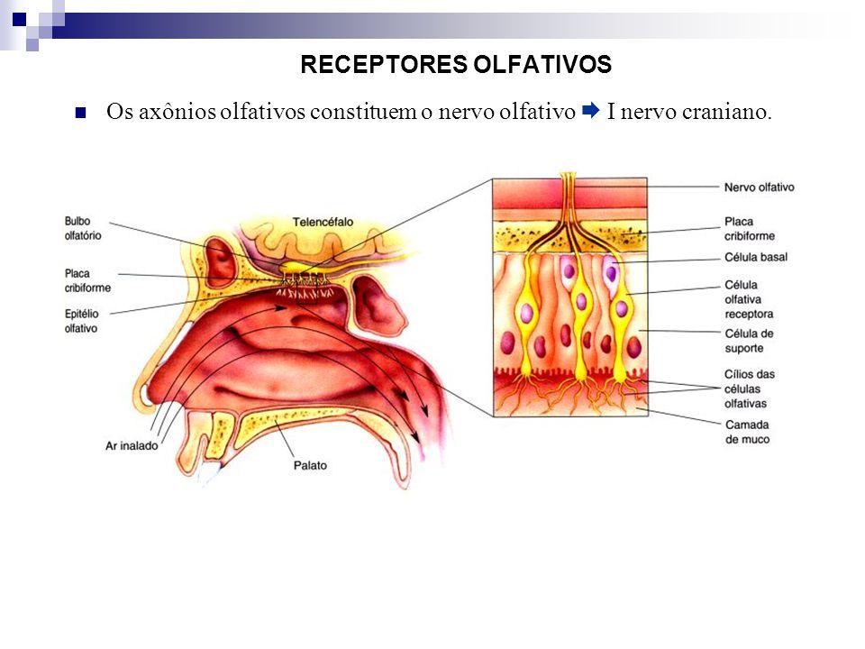 RECEPTORES OLFATIVOS Os axônios olfativos constituem o nervo olfativo I nervo craniano.