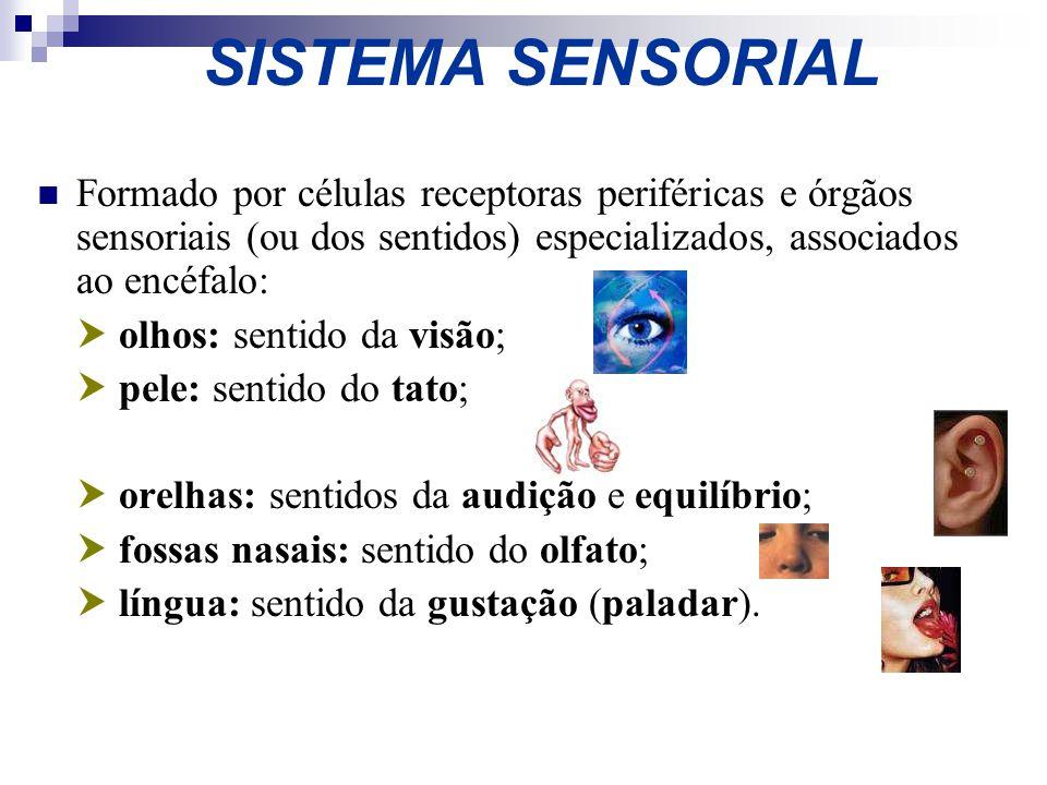 SISTEMA SENSORIAL Formado por células receptoras periféricas e órgãos sensoriais (ou dos sentidos) especializados, associados ao encéfalo: olhos: sent