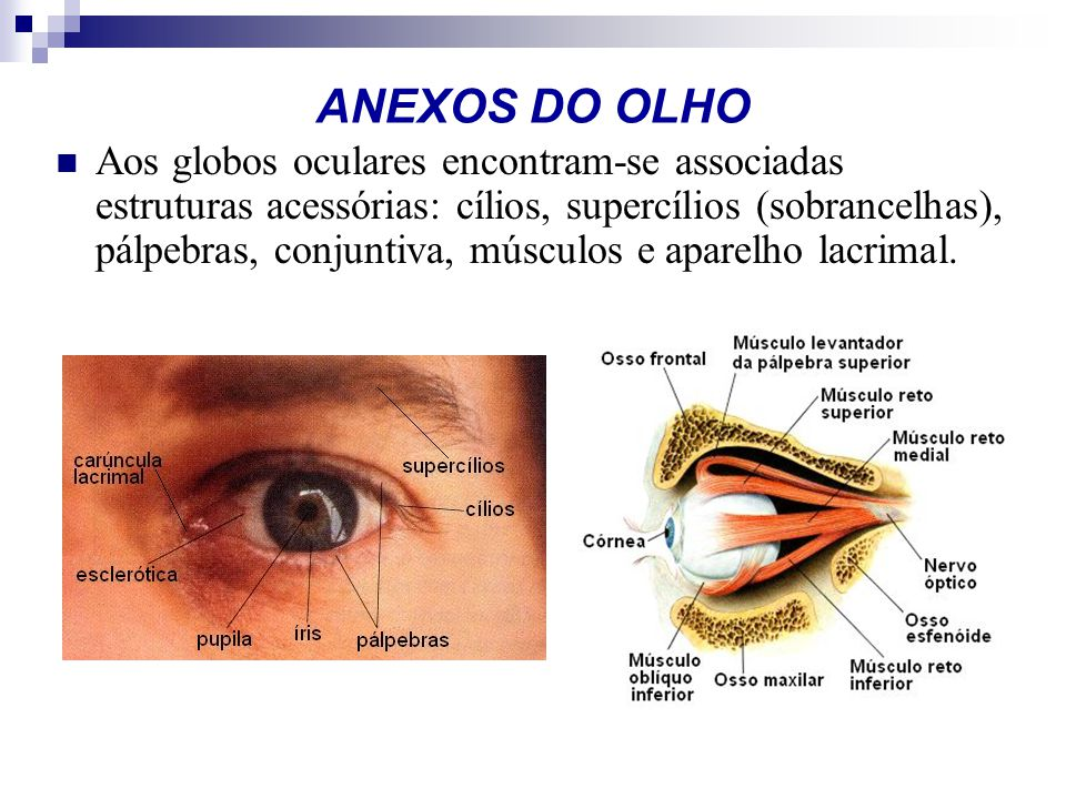 ANEXOS DO OLHO Aos globos oculares encontram-se associadas estruturas acessórias: cílios, supercílios (sobrancelhas), pálpebras, conjuntiva, músculos