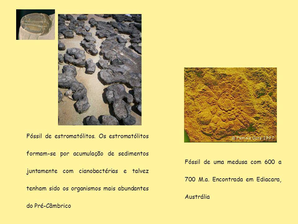 Fóssil de estromatólitos. Os estromatólitos formam-se por acumulação de sedimentos juntamente com cianobactérias e talvez tenham sido os organismos ma
