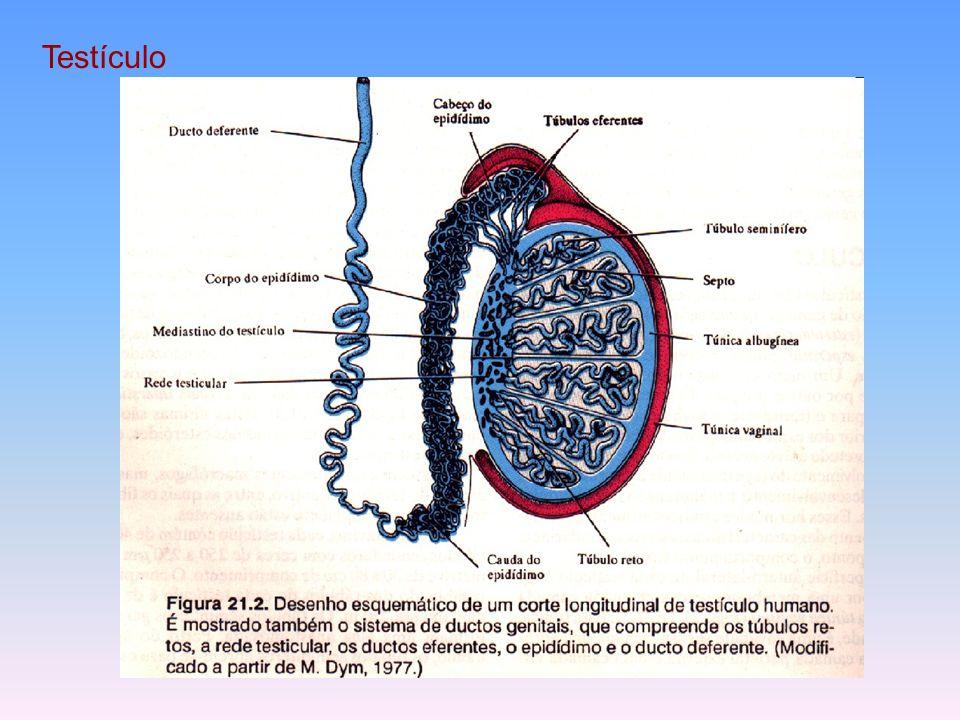 Hipotálamo Hormônio Liberador da gonadotrofina Hipófise anterior FSH ICSH ou LH Túbulos seminíferos Células Intersticiais Esperma Testosterona Características sexuais secundárias masculinas ( – ) Inibina ( – )