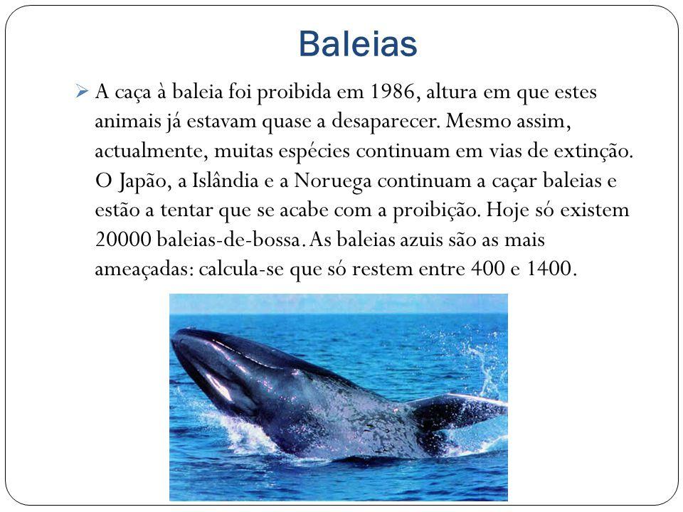 Baleias A caça à baleia foi proibida em 1986, altura em que estes animais já estavam quase a desaparecer.