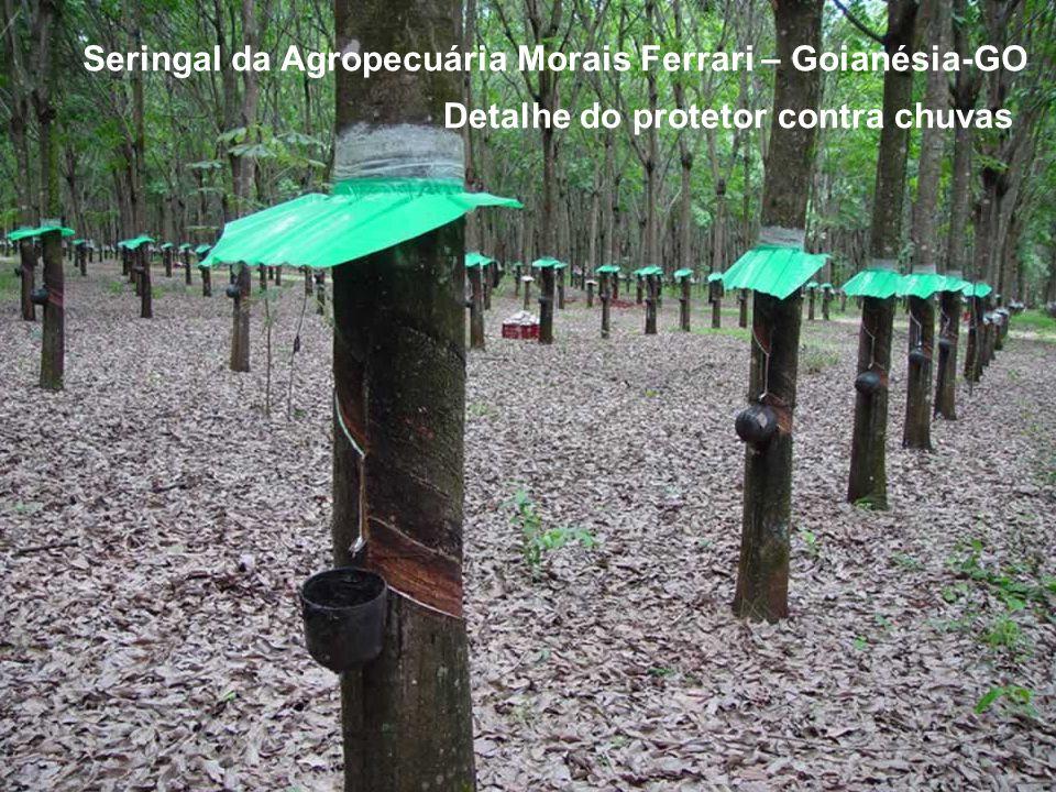 Seringal da Agropecuária Morais Ferrari – Goianésia-GO Detalhe do protetor contra chuvas