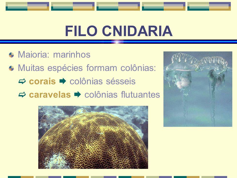 FILO CNIDARIA Maioria: marinhos Muitas espécies formam colônias: corais colônias sésseis caravelas colônias flutuantes