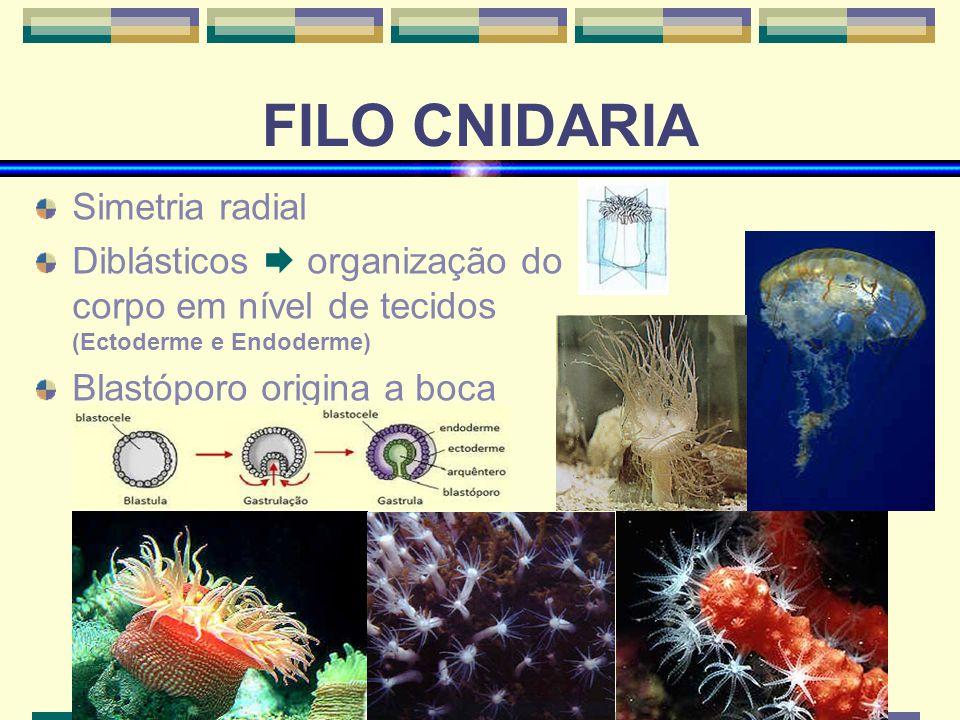 FILO CNIDARIA Simetria radial Diblásticos organização do corpo em nível de tecidos (Ectoderme e Endoderme) Blastóporo origina a boca