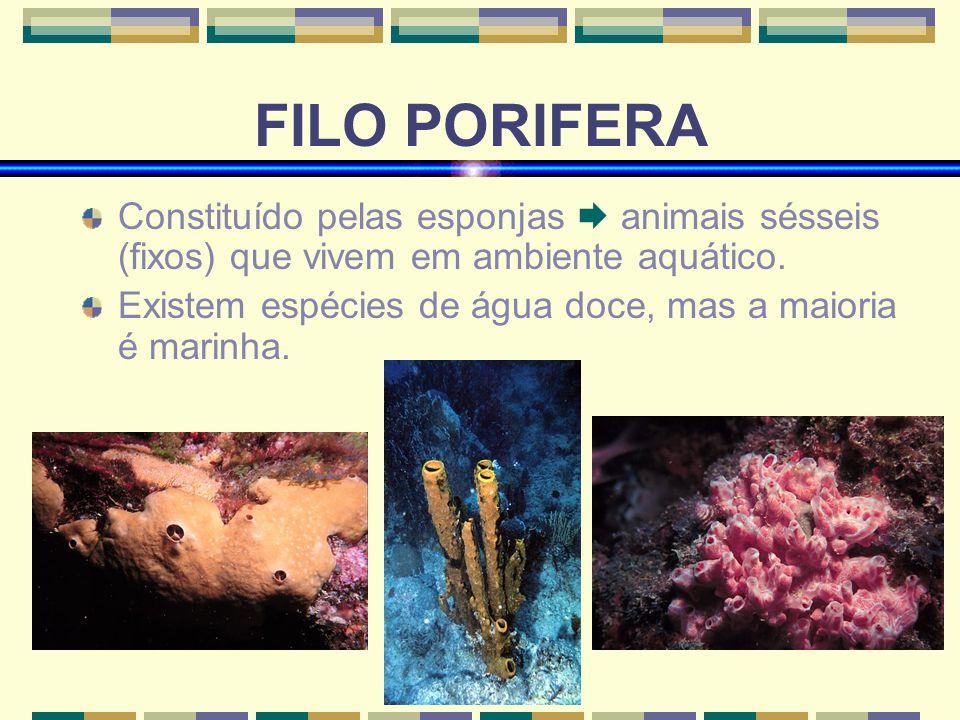 FILO PORIFERA Constituído pelas esponjas animais sésseis (fixos) que vivem em ambiente aquático. Existem espécies de água doce, mas a maioria é marinh