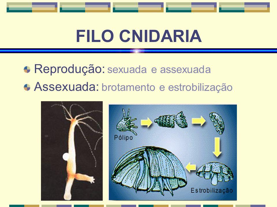 www.bioloja.com FILO CNIDARIA Reprodução: sexuada e assexuada Assexuada: brotamento e estrobilização