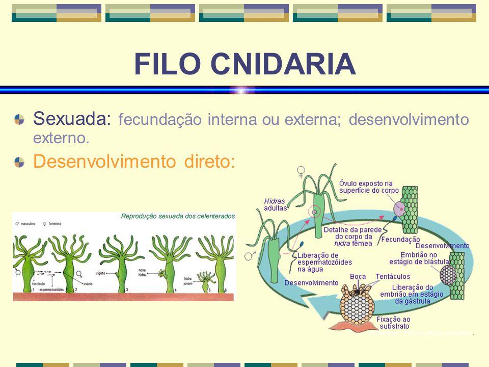FILO CNIDARIA Sexuada: fecundação interna ou externa; desenvolvimento externo. Desenvolvimento direto: