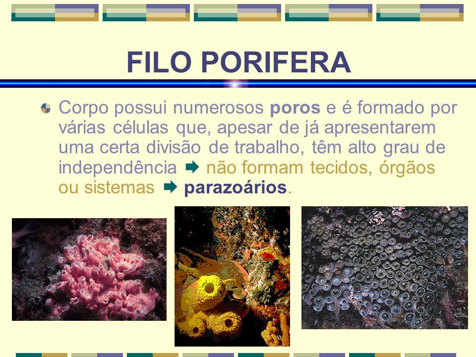 www.bioloja.com FILO PORIFERA Corpo possui numerosos poros e é formado por várias células que, apesar de já apresentarem uma certa divisão de trabalho, têm alto grau de independência não formam tecidos, órgãos ou sistemas parazoários.