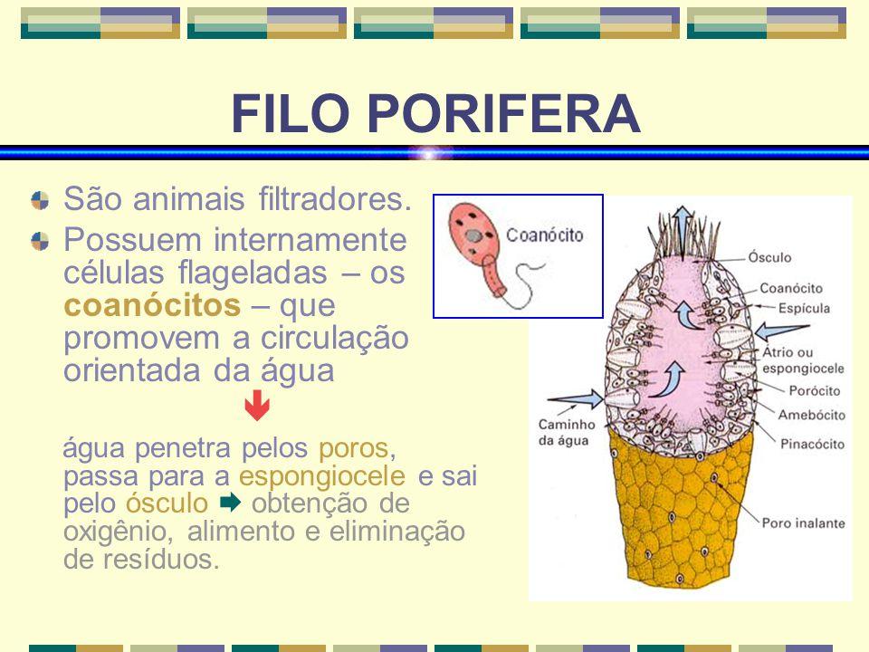 FILO PORIFERA São animais filtradores. Possuem internamente células flageladas – os coanócitos – que promovem a circulação orientada da água água pene