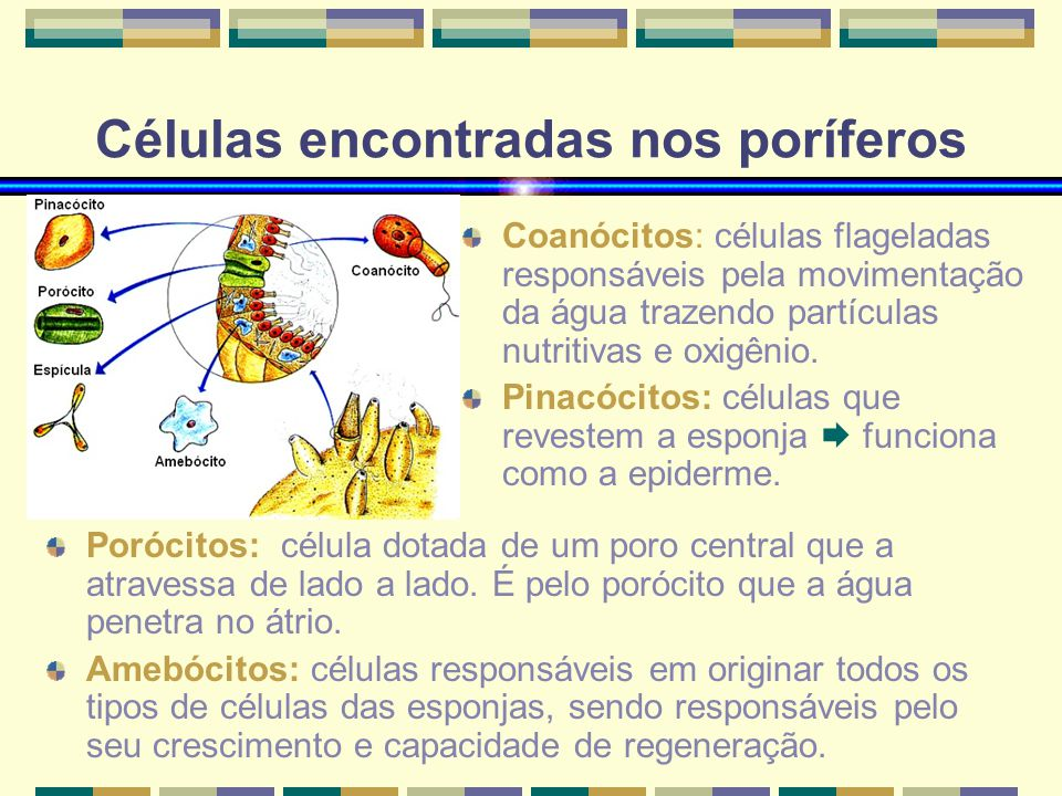 Células encontradas nos poríferos Coanócitos: células flageladas responsáveis pela movimentação da água trazendo partículas nutritivas e oxigênio. Pin