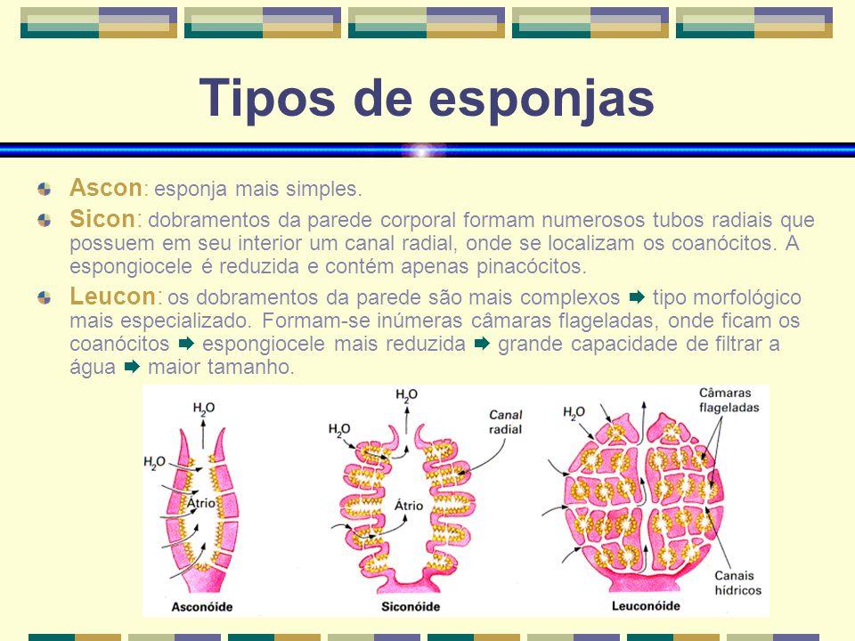 www.bioloja.com Tipos de esponjas Ascon : esponja mais simples. Sicon: dobramentos da parede corporal formam numerosos tubos radiais que possuem em se