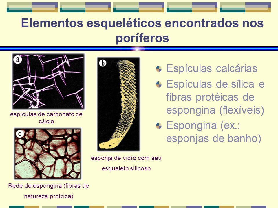 Elementos esqueléticos encontrados nos poríferos Espículas calcárias Espículas de sílica e fibras protéicas de espongina (flexíveis) Espongina (ex.: e