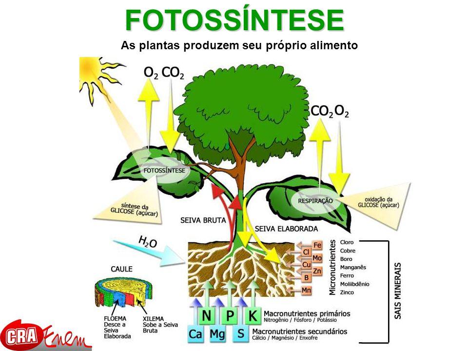 FOTOSSÍNTESE As plantas produzem seu próprio alimento