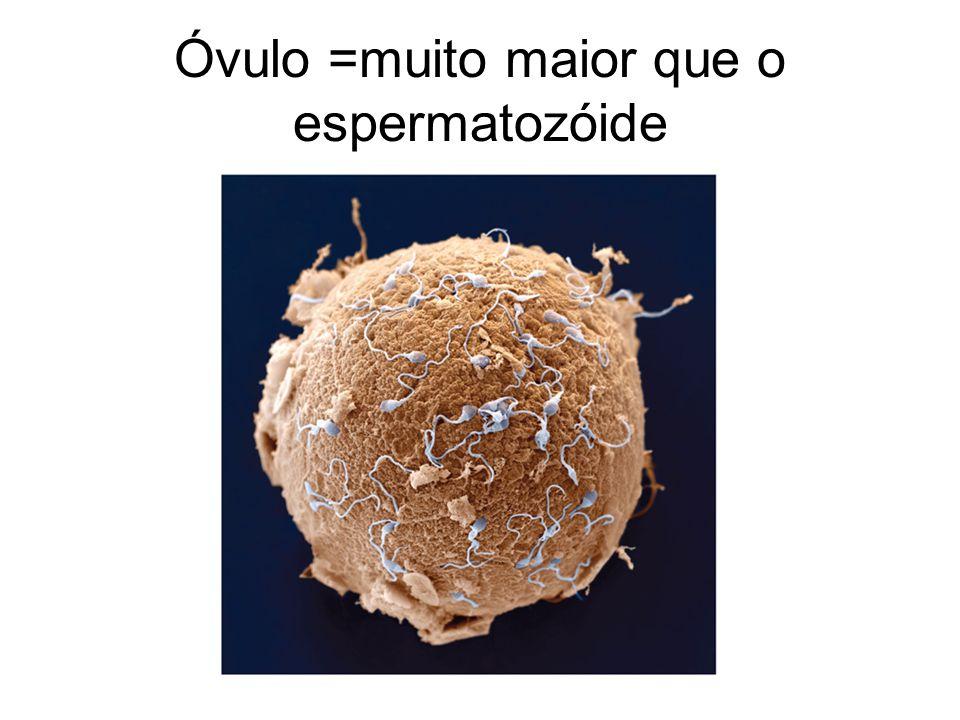 Óvulo =muito maior que o espermatozóide