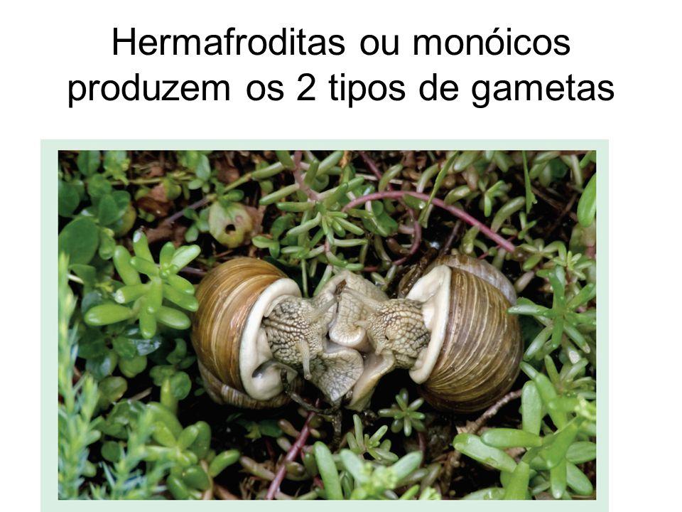 Hermafroditas ou monóicos produzem os 2 tipos de gametas