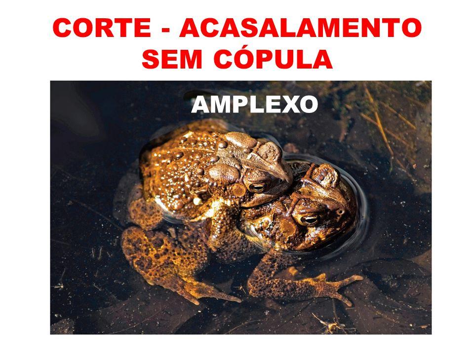 CORTE - ACASALAMENTO SEM CÓPULA AMPLEXO