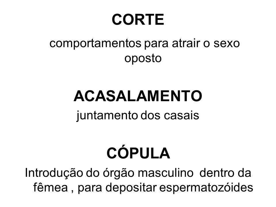 CORTE comportamentos para atrair o sexo oposto ACASALAMENTO juntamento dos casais CÓPULA Introdução do órgão masculino dentro da fêmea, para depositar espermatozóides