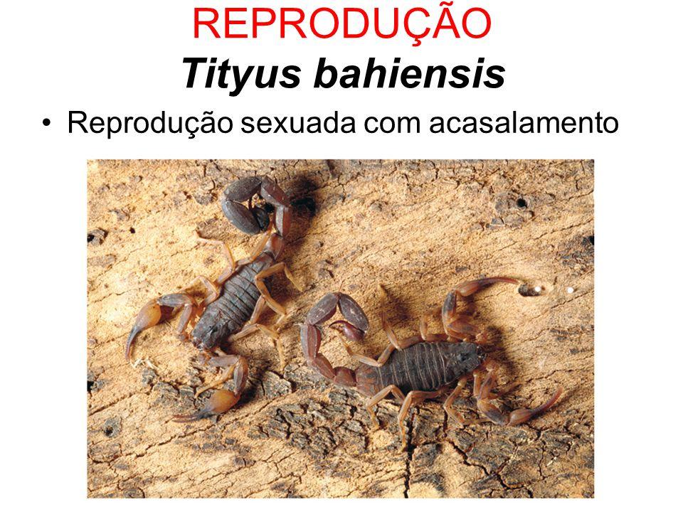 REPRODUÇÃO Tityus bahiensis Reprodução sexuada com acasalamento