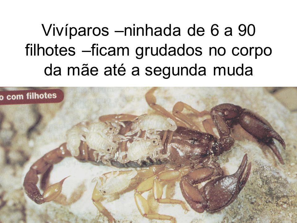 Tityus serralatus não possui macho Só fêmeas Óvulos não fecundados se desenvolvem e formam novos escorpiões fêmeas PARTENOGÊNESE