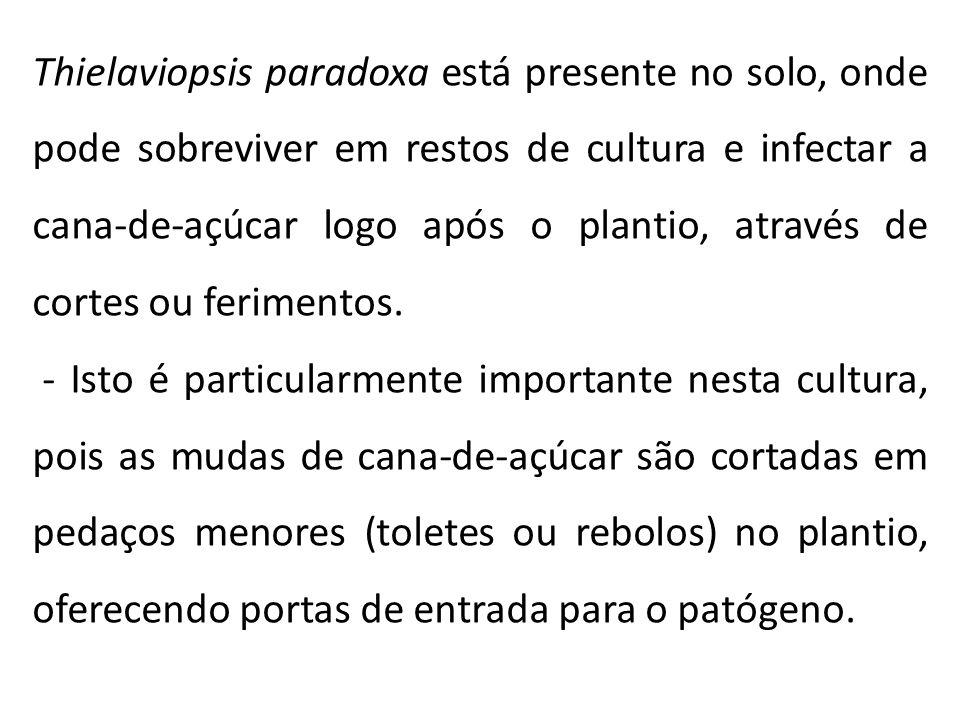 Thielaviopsis paradoxa está presente no solo, onde pode sobreviver em restos de cultura e infectar a cana-de-açúcar logo após o plantio, através de co
