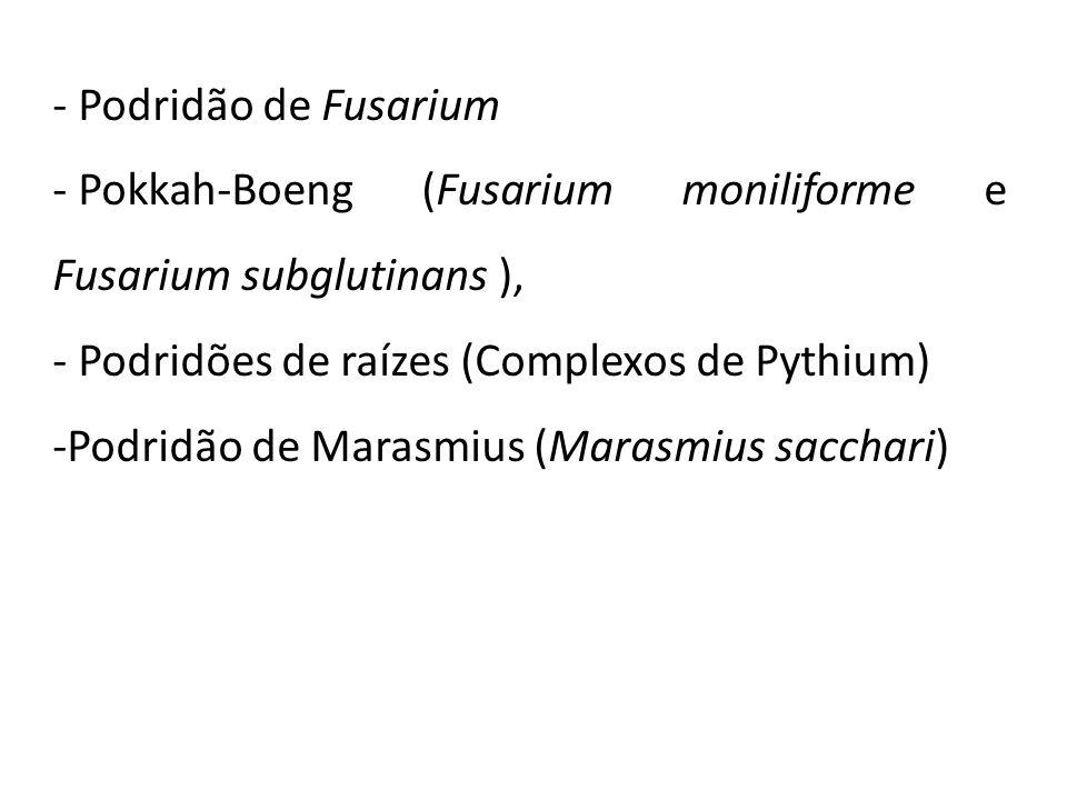 - Podridão de Fusarium - Pokkah-Boeng (Fusarium moniliforme e Fusarium subglutinans ), - Podridões de raízes (Complexos de Pythium) -Podridão de Maras