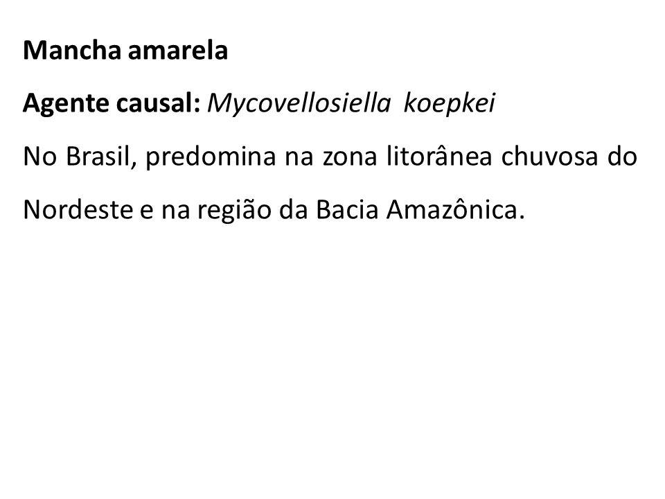 Mancha amarela Agente causal: Mycovellosiella koepkei No Brasil, predomina na zona litorânea chuvosa do Nordeste e na região da Bacia Amazônica.