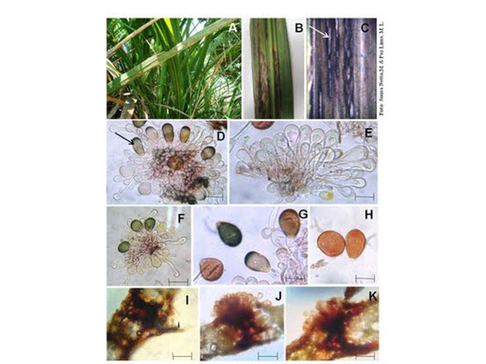 Ocasionalmente: algumas variedades podem produzir sintomas atípicos como galhas, proliferação de gemas e vassoura-de-bruxa - Surgem em plantas com 2-4 meses de idade, com o pico ocorrendo quando as plantas estão com 6-7 meses de idade.