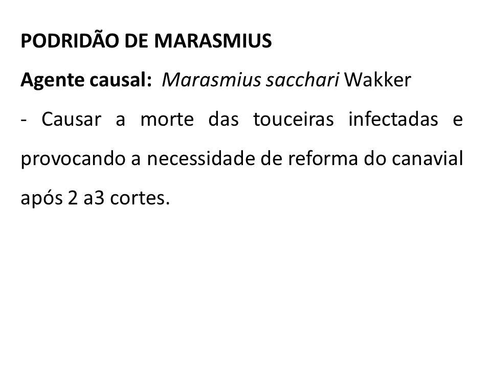 PODRIDÃO DE MARASMIUS Agente causal: Marasmius sacchari Wakker - Causar a morte das touceiras infectadas e provocando a necessidade de reforma do cana