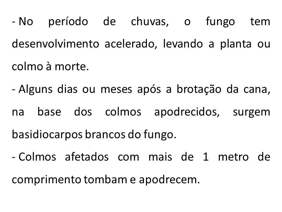 - No período de chuvas, o fungo tem desenvolvimento acelerado, levando a planta ou colmo à morte. - Alguns dias ou meses após a brotação da cana, na b