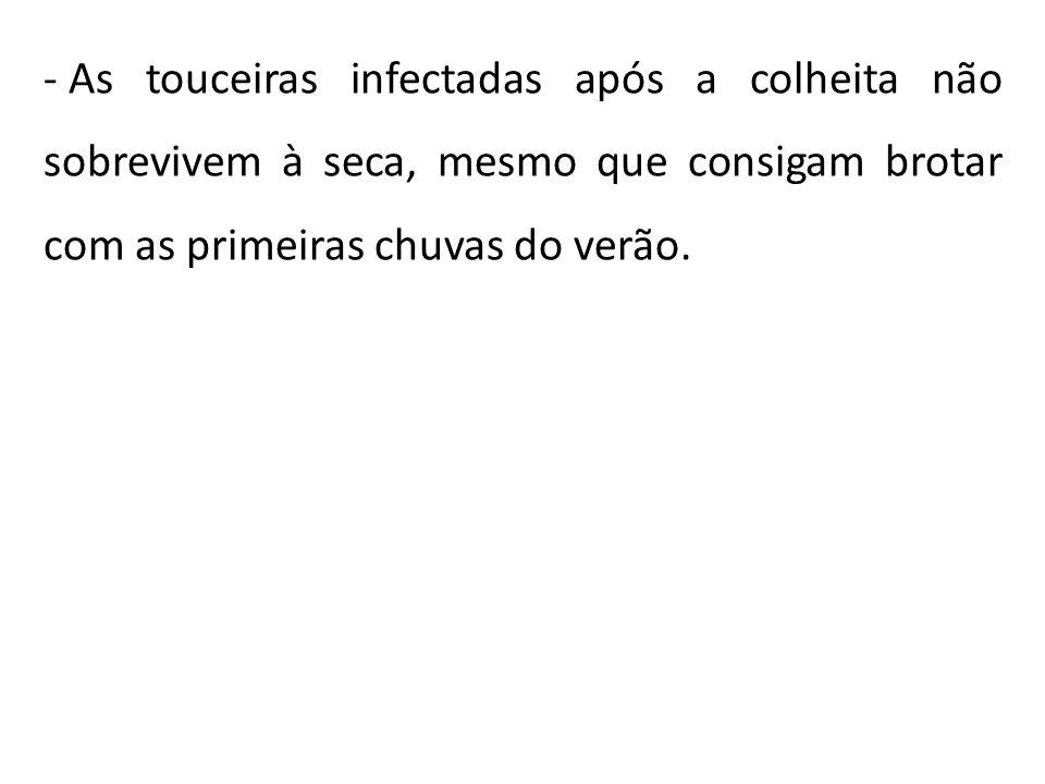 - As touceiras infectadas após a colheita não sobrevivem à seca, mesmo que consigam brotar com as primeiras chuvas do verão.