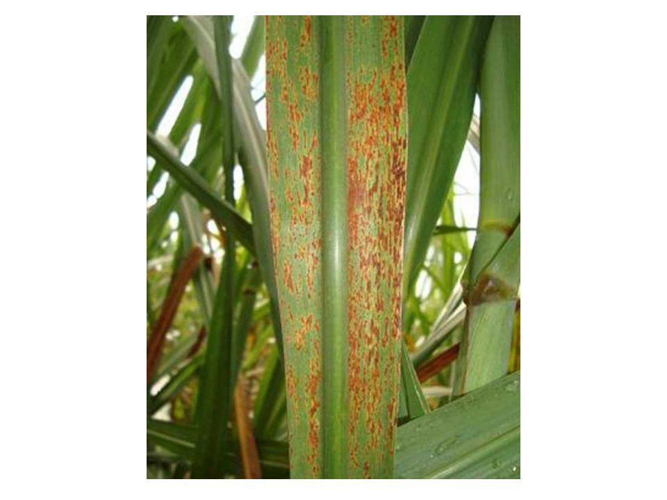 Região nodal: aparecem áreas necrosadas, de bordos definidos, que evoluem rapidamente até a completa necrose do entrenó que passa a exibir coloração pardo-escura e acérvulos do fungo.