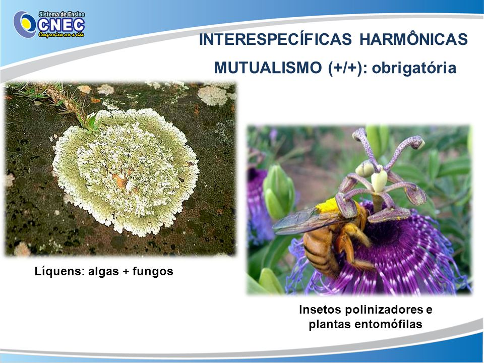 INTERESPECÍFICAS HARMÔNICAS MUTUALISMO (+/+): obrigatória Líquens: algas + fungos Insetos polinizadores e plantas entomófilas