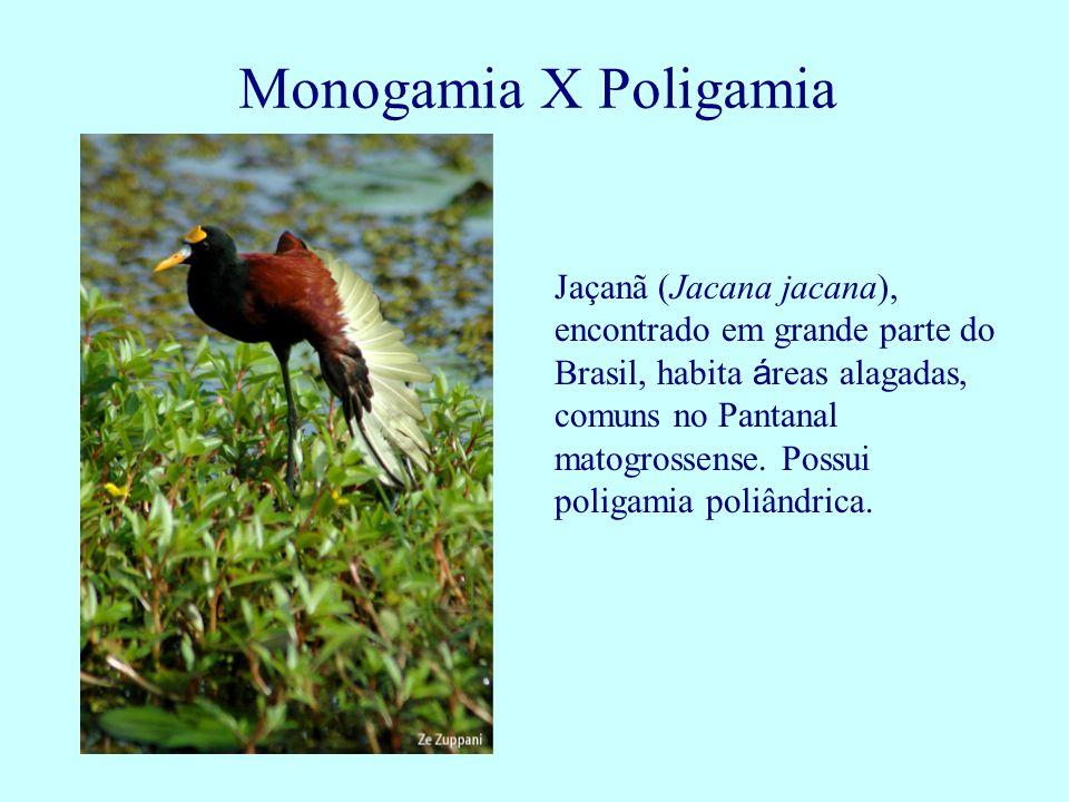 Jaçanã (Jacana jacana), encontrado em grande parte do Brasil, habita á reas alagadas, comuns no Pantanal matogrossense. Possui poligamia poliândrica.