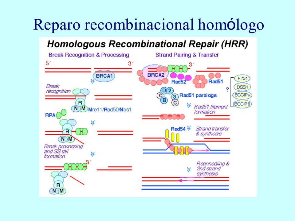 Reparo recombinacional hom ó logo