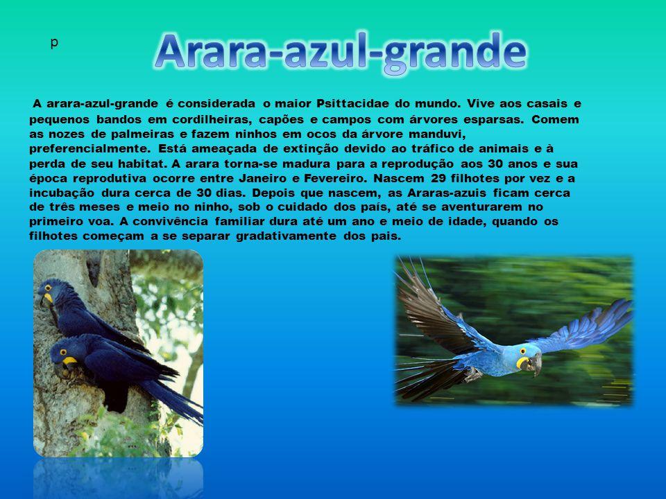 A arara-azul-grande é considerada o maior Psittacidae do mundo.
