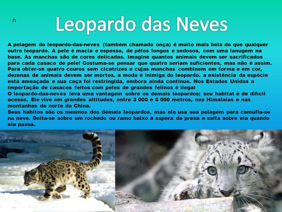 A pelagem do leopardo-das-neves (também chamado onça) é muito mais bela do que qualquer outro leopardo.